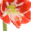 Stock Photo: Opening variegated amaryllis (hippeastrum)