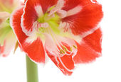 Opening variegated amaryllis (hippeastrum) — Stock Photo
