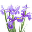 Stock Photo: Open iris flowers bouquet