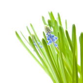 Muscari (grape hyacynth) flowers and leaves isolated on white — Stock Photo