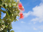 Flowering Callistemon (bottlebrush plant) — Foto de Stock