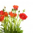 Red Ranunculus asiaticus (Persian Buttercup); isolated on white - 