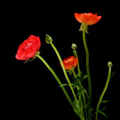 Red Ranunculus asiaticus (Persian Buttercup), isolated on black — Foto Stock