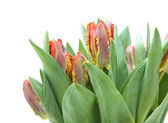 Bunch of; yellow and red parrot tulips isolated on white — Stock Photo