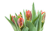 Bunch of wet; yellow and red parrot tulips isolated on white — Stock Photo