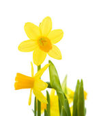 Yellow mini-narcissi; isolated on white — Stock Photo
