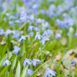 Flowering Siberian squill (Scilla siberica; wood squill; spring — Stock Photo #8529531