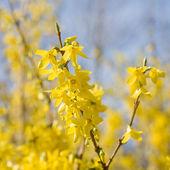 Floraison forsythia branchs, ensoleillé, jour du printemps — Photo