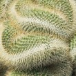 Snake-like curves of Mammilaria cristata cactus — Stock Photo