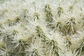 Natural background with spiny cactus Opuntia tunicata — Stock Photo