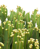 Dense cluster of Euphorbia abyssinica (Desert Candle) — Stock Photo