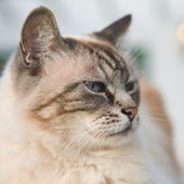 Beautiful blue eyed cat — Stockfoto