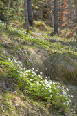 White Anemone nemorosa (wood anemone; windflower; smell fox) — Stock Photo