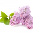 Lilac branch isolated on white background — Stock Photo
