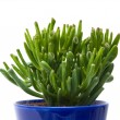 Succulent crassula plant with tubular leaves, in dark blue pot, isolated on — Stock Photo
