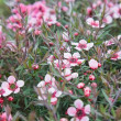 Flowering Leptospermum scoparium (Manuka or Tea tree) background — Stock Photo #8980467