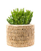 Succulent crassula plant with tubular leaves; in raffia-covered — Stock Photo