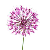 Decorative allium flowerhead isolated on white — Stock Photo