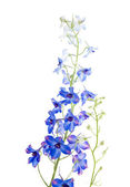 Blue delphinium flowering spike — Stock Photo