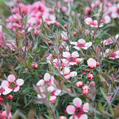 Flowering Leptospermum scoparium (Manuka or Tea tree) background — Stock Photo