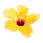 Beautiful yellow hibiscus isolated on white background — Stock Photo