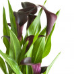 "Dark purple (""black"") calla lily plant isolated on white backgrou — Stock Photo #9047707"