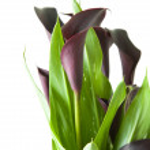 "Dark purple (""black"") calla lily plant isolated on white backgrou — Stock Photo #9047733"