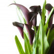 "Dark purple (""black"") calla lily plant isolated on white backgrou — Stock Photo"