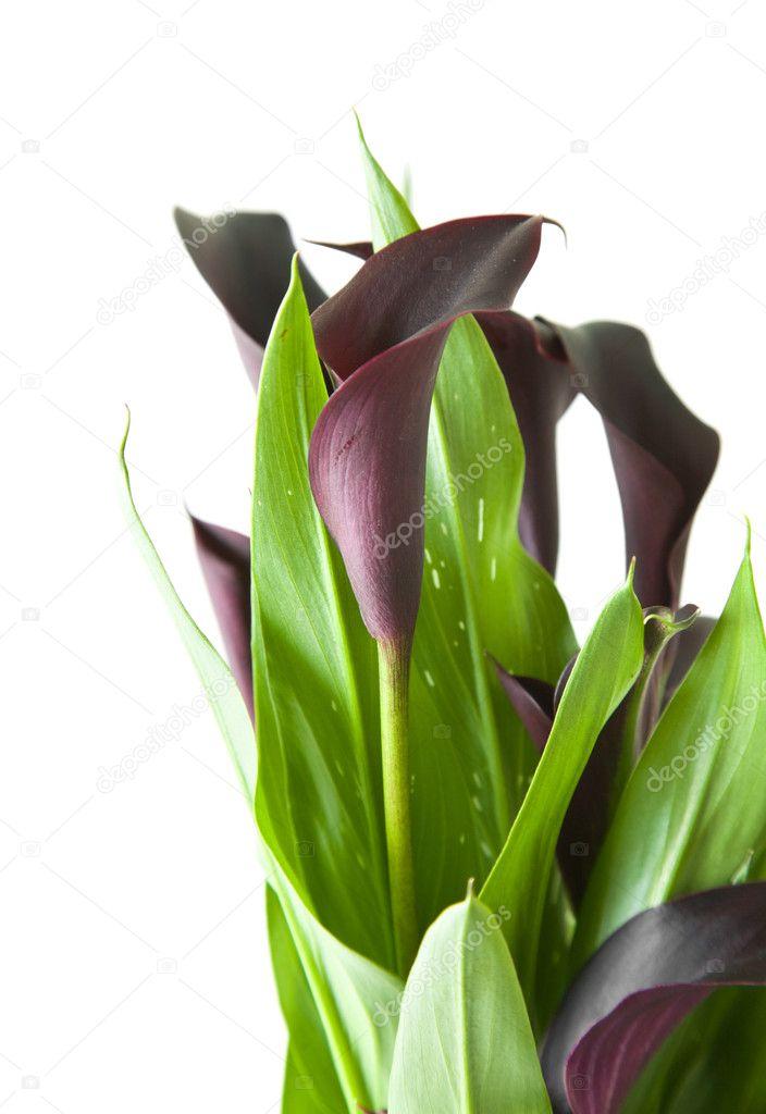 dunkel lila schwarz calla lilien pflanzen isoliert auf. Black Bedroom Furniture Sets. Home Design Ideas