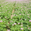 Stock Photo: Field of flowering potato plants