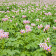 Field of flowering potato plants — Stock Photo
