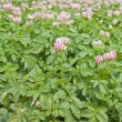 Stock Photo: Field of flowering potato plants;