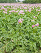 Field of flowering potato plants; — Stock Photo