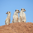Three suricates watching out - Stock Photo