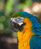 Blue-and-Yellow Macaw,Ara ararauna, — Stock Photo