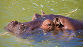 Hippo in a murky green water — Stock Photo