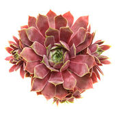Sempervivum isolated on white, top view — Stock Photo