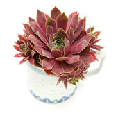 Sempervivum growing in an old chine mug isolated on white; top view; — Stock Photo