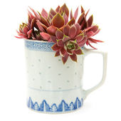 Sempervivum growing in an old chine mug; isolated on white; side view; — Stock Photo