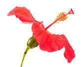 Hibiscus rouge — Photo