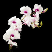 Beautiful white dendrobium orchid with dark purple centers; isolated on black background; — Stock Photo