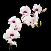 Красивые белые dendrobium орхидеи с темный фиолетовый центрами; изолированные на черном фоне; — Стоковое фото