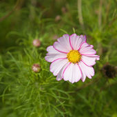 Dark and light pink variegated cosmos (cosmea) flower; — Stock Photo