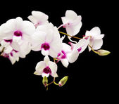 Beautiful white dendrobium orchid with dark purple centers; isol — Stock Photo