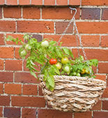 Red and yellow tomatoes growing in a hanging basket on old brick wall — Stock Photo