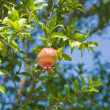 Ripening pomegranate — Stockfoto