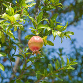 Ripening pomegranate — Stock Photo