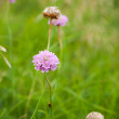 Gentle pink flower of Armeria maritima, sea pink - Stock Photo