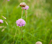 Gentle pink flower of Armeria maritima, sea pink — Stock Photo
