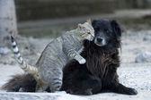 Öpüşme kedi köpek. — Stok fotoğraf